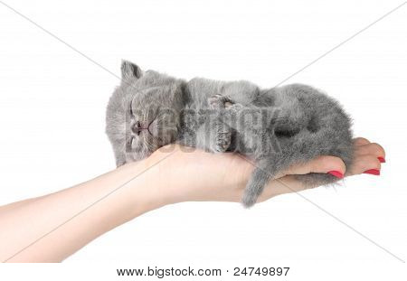 Little Kitten In The Hands