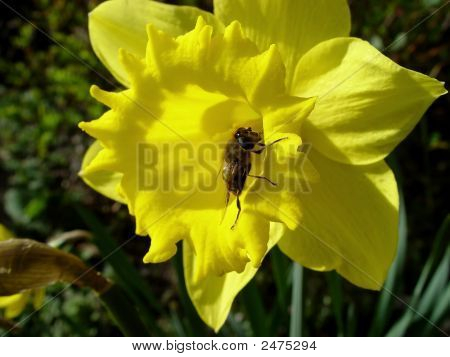 Daffodil With Bee