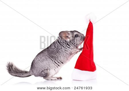 Chinchilla Playing With  A Red Santa Hat