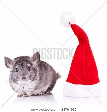 Chinchilla Standing Near A Red Santa Hat