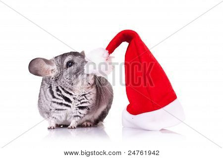 Cute Chinchilla Near A Santa Hat