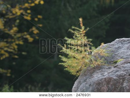 Tree In The Rock