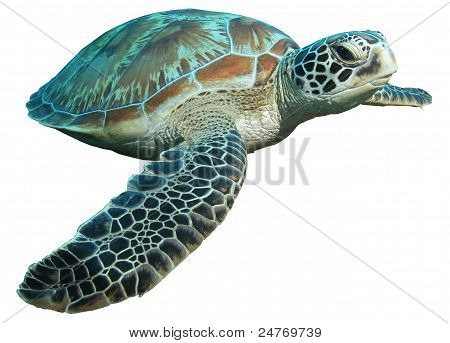 green turtle (Chelonia mydas) isolated on white background