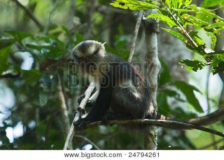 Moaner Monkey
