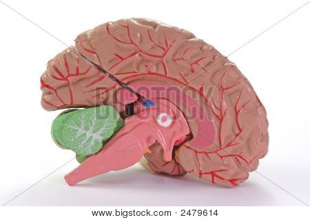 Human Part Of Brain