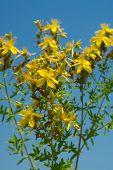 Flower medicinal plants - Hypericum perforatum (aka. perforate St Johns-wort) a medicinal herb with poster