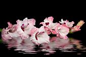 stock photo of gladiola  - Pink gladiola stem with rippled water effect - JPG