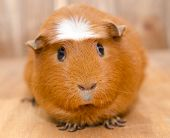 Cute Guinea Pig On A Wooden Background, Selective Focus On The Guinea Pig Nose poster