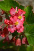 Dragon Wing Red Begonia- Latin Name - Begonia X Hybrida Dragon Wing Red poster