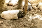 Pigs On The Farm. Happy Pigs On Pig Farm Resting Under Sunlight. poster