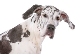 pic of great dane  - great dane harlequin in front of a white background - JPG