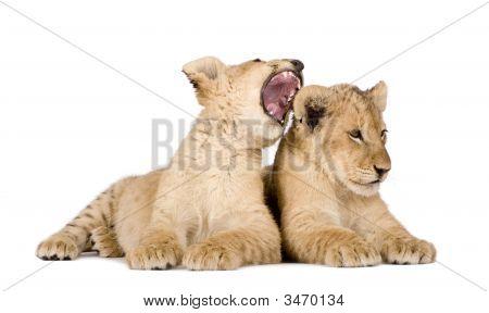 Lion Cub (4 maanden)