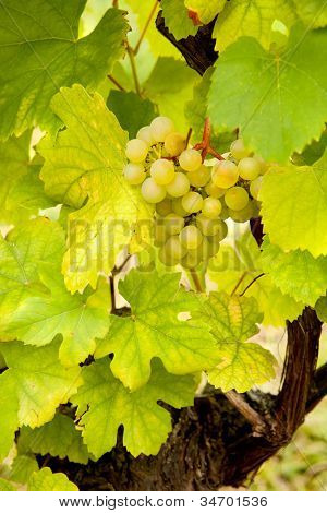 Small cluster of grapes hanging on a grapevine in Alsace, France