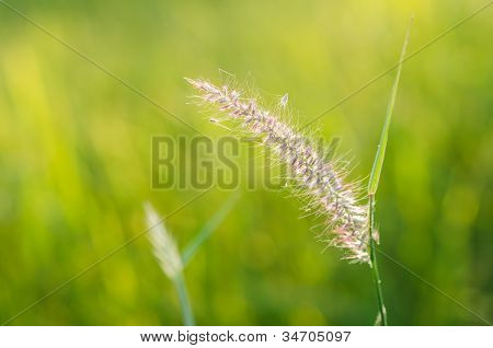 Flower Foxtail Weed