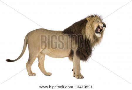 León (4 y medio años) - Panthera Leo