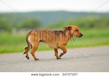 Dog Walking Down The Road
