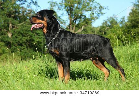 Purebred Rottweiler On Green Grass