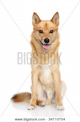 Finnish Spitz On White Background