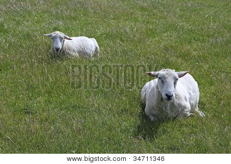 Two Sheared Sheep Lie In The Grass