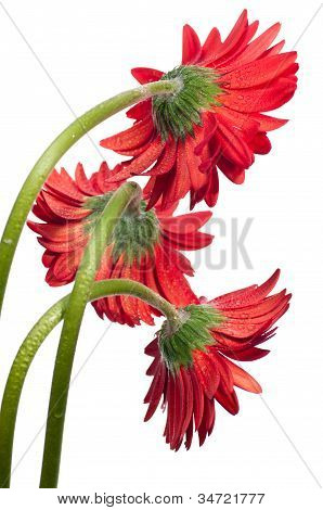 Three Red Gerbera Flower Viewed From The Back