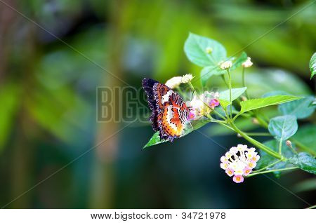 Mariposa Virrey en el jardín