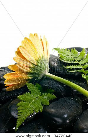 Yellow Orange Gerbera And Fern On Black Zen Stone