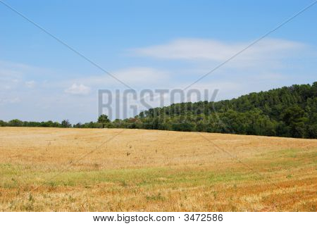 Corn Field In The Countryside