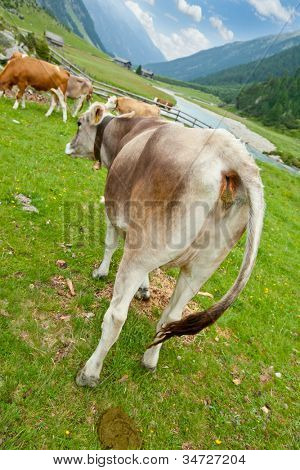 Cow with excrement in alpine valley