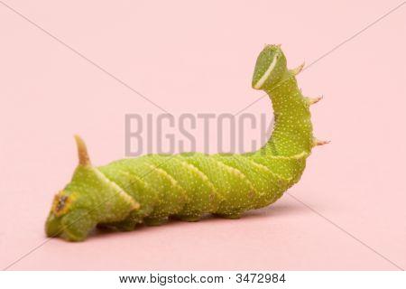 Lime Hawk-Moth Caterpillar - Mimas Tiliae