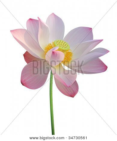 Lotus flower isolated on white