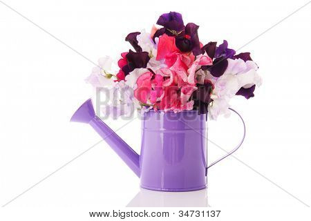 Purple watering can with bouquet colorful Lathyrus