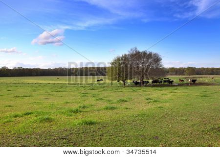 Cattle in the farm in Mississippi state