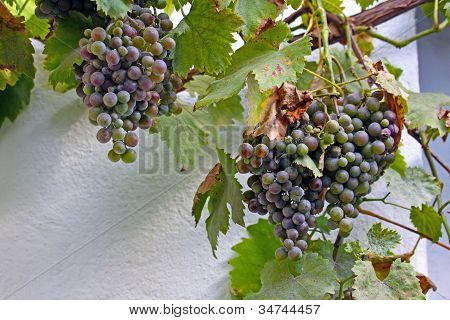 Bunche Of Blue Grapes