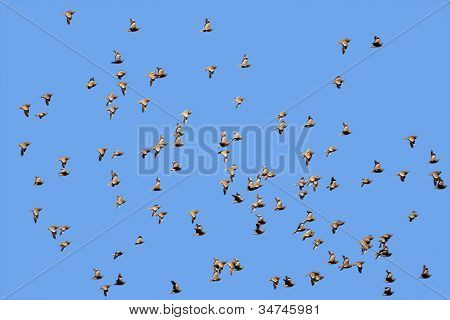 Spotted Sandgrouse In Flight