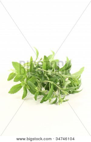 Stevia With Flowers