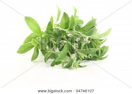 Stevia White Flowers