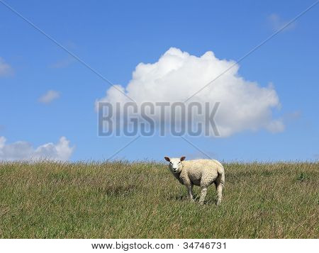 Young House Sheep On The Pasture