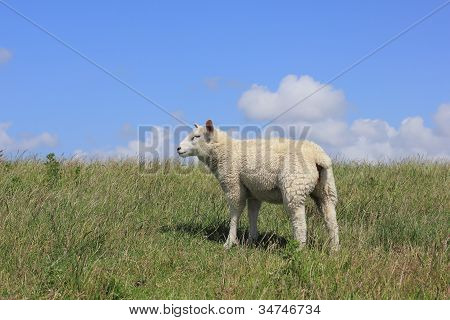 Young House Sheep, Ovis Orientalis Aries