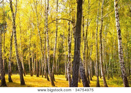 Madera de oro de otoño
