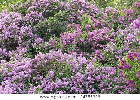 Lilas arbustos en un jardín de primavera