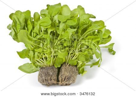 Hydroponic Arugula Isolated On White