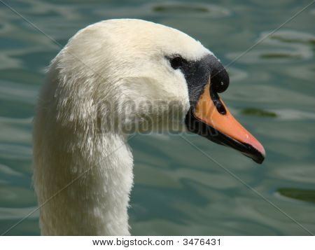 Swan Head Closeup