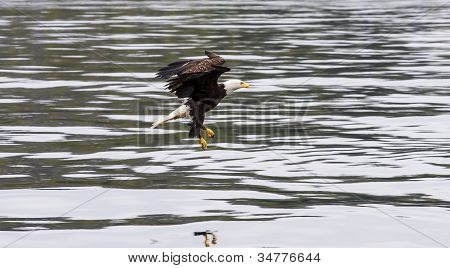 Eagle Swooping For Food