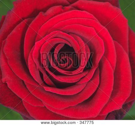 Primer plano de la rosa