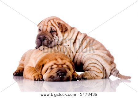 zwei Shar-pei-Baby-Hunde