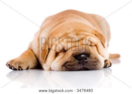 Shar pei Baby Hund schlafen