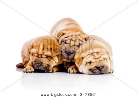 Three Shar Pei Baby Dogs