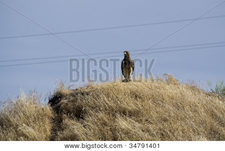 Hawk On A Hill