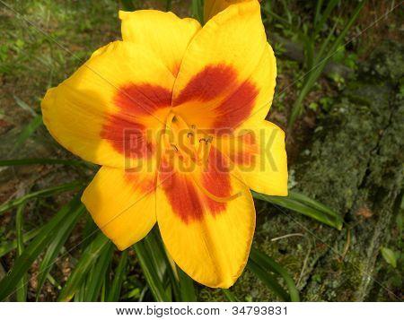 Bicolor Lily