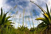 foto of century plant  - Agave plant shot with fish eye lens - JPG